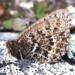Oeneis alpina - Photo (c) Andrew Warren, todos los derechos reservados