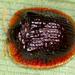 Spaethiella circumdata - Photo (c) gernotkunz, all rights reserved