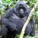 Eastern Gorilla - Photo (c) WildNothos, all rights reserved