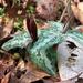 Underwood's Trillium - Photo (c) robdv, all rights reserved