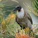 Noisy Friarbird - Photo (c) Paul, all rights reserved, uploaded by creaturesnapper