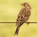Corn Bunting - Photo (c) Félix Loarte, all rights reserved