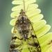 Dichoptera - Photo (c) c_hutton, όλα τα δικαιώματα διατηρούνται