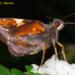 Lychnuchoides ozias ozias - Photo (c) Andrew Warren, todos los derechos reservados