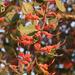 Showy Mistletoes - Photo (c) Ori Fragman-Sapir, all rights reserved