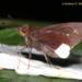 Cobalus virbius - Photo (c) Andrew Warren, όλα τα δικαιώματα διατηρούνται