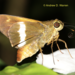 Tirynthia conflua - Photo (c) Andrew Warren, כל הזכויות שמורות