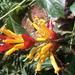Sanchezia ovata - Photo (c) Susannah, todos los derechos reservados