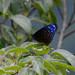 Euploea mulciber barsine - Photo (c) WK Cheng, todos los derechos reservados
