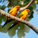 Sun Parakeet - Photo (c) Joao Quental, all rights reserved