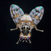 Fruit Flies - Photo (c) Graham Montgomery, all rights reserved