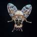 זבובי פירות - Photo (c) Graham Montgomery, כל הזכויות שמורות