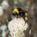 Crotch's Bumble Bee - Photo (c) Alice Abela, all rights reserved