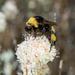 Bombus crotchii - Photo (c) Alice Abela, todos los derechos reservados