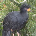 Wattled Curassow - Photo (c) sedges_have_edges, some rights reserved (CC BY-NC-ND)