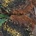 Pisolithus arenarius - Photo (c) txfungl, כל הזכויות שמורות