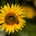 Common Sunflower - Photo (c) fra298, some rights reserved (CC BY-NC-ND)