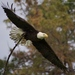 Bald Eagle - Photo (c) Parham Pourahmad, all rights reserved