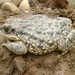 Concepcion Toad - Photo (c) Francisco Iturriaga, all rights reserved