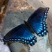 Arizona Red-spotted Purple - Photo (c) Sheri L. Williamson, all rights reserved