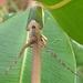 Rhytiphora nigrovirens - Photo (c) Steve Thuan, todos los derechos reservados
