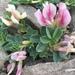 Trifolium eximium - Photo (c) Oyuntsetseg Batlai, all rights reserved