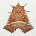Herald Moth - Photo (c) David Beadle, all rights reserved, uploaded by dbeadle