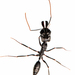 Odontomachus bauri - Photo (c) Stéphane De Greef, all rights reserved