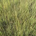 Saltmeadow Cordgrass - Photo (c) Janet Wright, all rights reserved