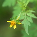 Bidens bipinnata - Photo (c) mayfly1963, todos los derechos reservados, uploaded by mayfly1963
