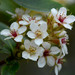 Indian Hawthorn - Photo (c) WK Cheng, all rights reserved