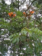 Spathodea campanulata image