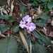 Primula scapigera - Photo (c) Anirban Datta-Roy, some rights reserved (CC BY)