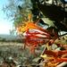 Injerto de Huizache - Photo (c) Eduardo Ruiz-Sanchez, todos los derechos reservados