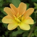 Oenothera laciniata - Photo (c) Jason Sharp, כל הזכויות שמורות, uploaded by SharpJ99