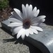 Blue-eyed African Daisy - Photo (c) cushing_christina_3, all rights reserved, uploaded by cushing_christina_3