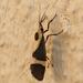 Cisthene tenuifascia schwarziorum - Photo (c) Benjamín de la Cruz, kaikki oikeudet pidätetään