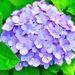 Hortensia Japonesa - Photo (c) Mahyarudin Dalimunthe, algunos derechos reservados (CC BY-NC-ND)