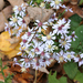 Lowrie's Blue Wood Aster - Photo (c) R. A. Nonenmacher, some rights reserved (CC BY-SA)