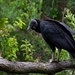 Andean Black Vulture - Photo (c) Matías Faúndez, all rights reserved
