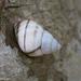Orthalicus floridensis - Photo (c) Gordon Dietzman, todos los derechos reservados