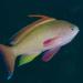 Pseudanthias squamipinnis - Photo (c) Ian Shaw, todos los derechos reservados
