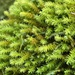Rambling Tail-Moss - Photo (c) Michael Boxriker, all rights reserved