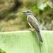 Tropical Kingbird - Photo (c) Esteban Poveda, all rights reserved