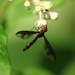 Dusky-winged Hover Fly - Photo (c) mayfly1963, all rights reserved, uploaded by mayfly1963