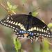Mariposa Cometa Negra - Photo (c) Steve Collins, todos los derechos reservados
