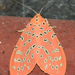 Mangina argus - Photo (c) Anupam Phillip, todos los derechos reservados