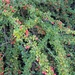 Cotoneaster adpressus - Photo (c) Jimmy Ekstedt, todos los derechos reservados