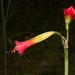 Phycella cyrtanthoides - Photo (c) casalejf, όλα τα δικαιώματα διατηρούνται