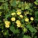 Merremia hederacea - Photo (c) WK Cheng, todos los derechos reservados